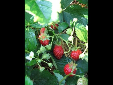 How to Plant Strawberries - at Harvest Haven