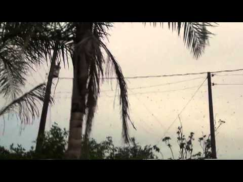 Thousands of spiders suspended in power lines