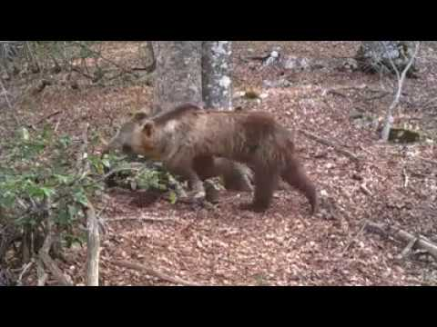 Un anno di osservazione tra i faggi del Parco Nazionale d'Abruzzo VIDEO