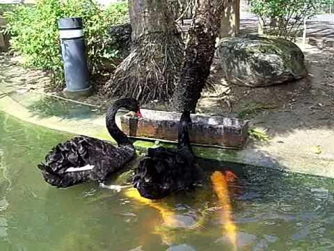 他路過看到一大堆鯉魚圍著2隻黑天鵝,接下來看到的驚人畫面讓人發現人類真的是最自私的!