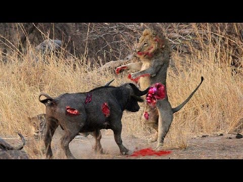 Lion vs Buffalo - Most Amazing Moments Of Wild Animal Fights! Wild Discovery Animals #5