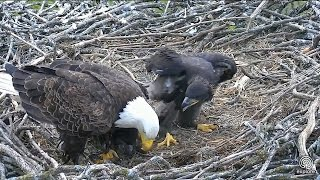 Decorah Eagles - North Nest powered by EXPLORE.org https://www.youtube.com/watch?v=t2q89jtvEq8.