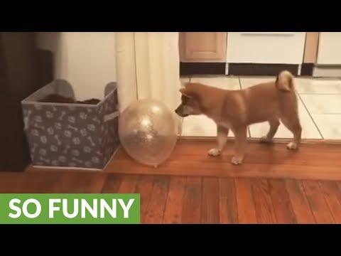 lo-shiba-inu-che-gioca-col-palloncino