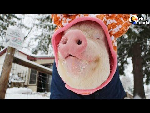 il maiale che ama l'inverno