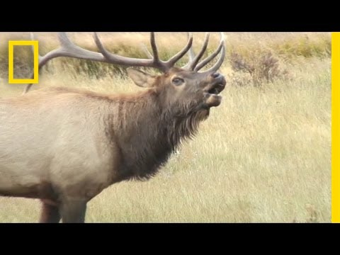 Listen These Elk Sound Terrifying Like