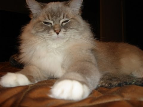 0 Skyy   a Blue Lynx Mitted Ragdoll Cat