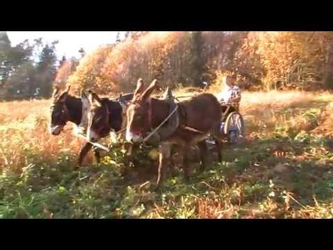 fauche de sarrazin avec des ânes