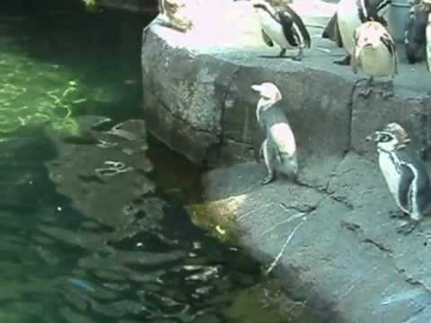 Zoo Denmark - Penguins in Aalborg Zoo, Denmark gets fed while an employee tells about them. July 26th, 2012.