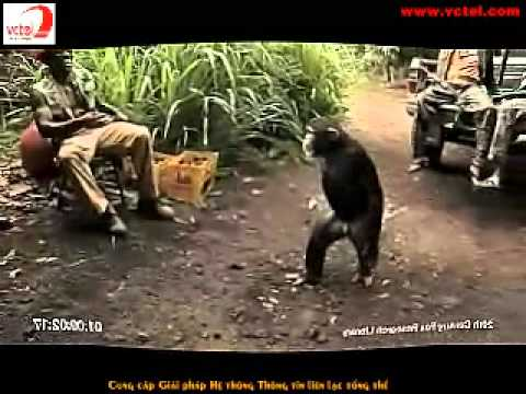 Chimpanzé armado