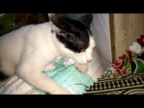 Cute Cat Clip | Cat Video For Fun | A Pet Cat