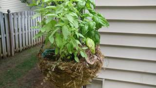 Carolina Wren nest in planter.