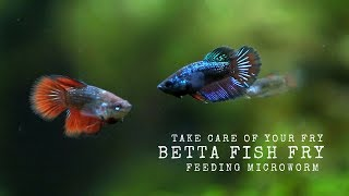Hye guys,,, how are u today??.title : Feeding Fry Betta (Microworm)subscribe my channel : https://www.youtube.com/channel/UCKeWSwwwkQg_roYj5wOBZ8QBreeding Siamese Fighting Fish, or bettas, is a wonderful hobby. However, it's not something to be taken lightly. If you have the abundant time, resources, knowledge, and commitment that breeding bettas demands, it can also be a rewarding experience.1. Setup and Choosing Bettas to BreedLearn as much as possible.Set up your permanent tanksObtain a breeding pair2. Building the Conditions for BreedingLet them settle inSet up your breeding tankStart feeding live food when you are ready to breed themBegin raising fry foodIntroduce the pairObserve their behavior.3. Breeding Your BettasRemove the dividerLet nature take its course.Remove the female bettaLeave the male in the tank until the fry can swim around4. Caring for the FryWait for fry to hatchRemove the male from the tank, being very careful not to net any fryFeed the fryGive the fry time to growPlace the fry into grow-out tanks5. Nursing the Fry to AdulthoodWean the fry off live foodSeparate malesDecide the future of your spawnSexing Young Bettas