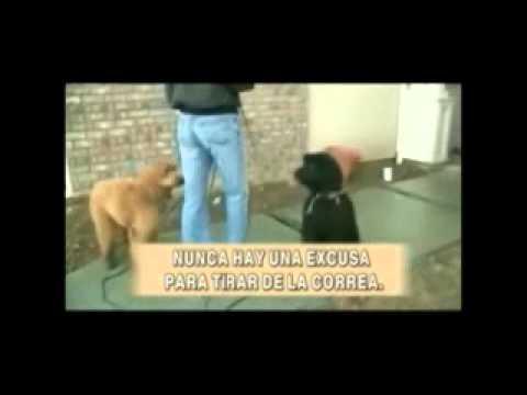 7 Adiestramiento de perros   Curso completo