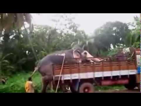 Elephant climbing on truck