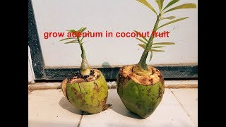 Video grow ADENIUM in coconut fruit pot MP3, 3GP, MP4, WEBM, AVI, FLV Agustus 2018