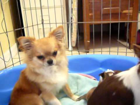 Tiny 5 week old chihuahua puppies playing with Pepsi Cola