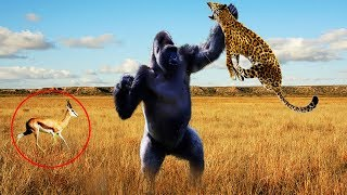 Hero Monkey Saving Gazelle From Leopard Hunting | Animals Rescue Other Animals Compilation