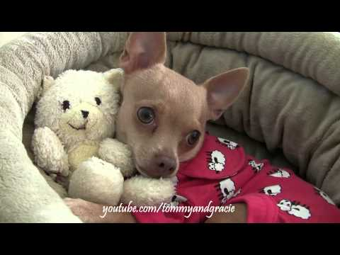 CHIHUAHUA HUGS HIS TEDDY BEAR