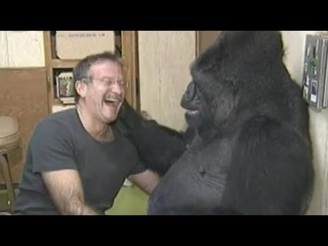 Koko the Gorilla Mourns Her Friend, Robin Williams (видео)