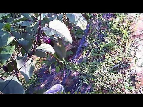 水ナスの栽培 7月31日畑の様子