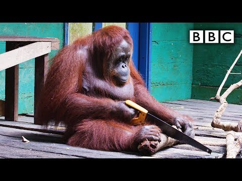 Orangutan learns how to use a saw