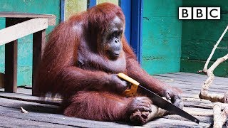 Orangutan saws a tree - Spy in the Wild: Episode 2 Preview - BBC One