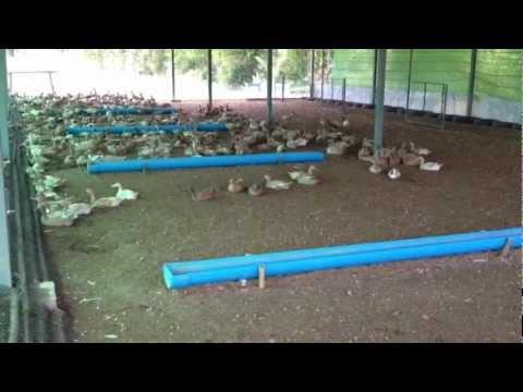 การเลี้ยงเป็ด - รุ่งรัศมีฟาร์ม...อ.สว่างแดนดิน จ.สกลนครฟาร์มเป็ดไข่ ซีพีซุปเปอร์ ขนาด 800 ตัว...
