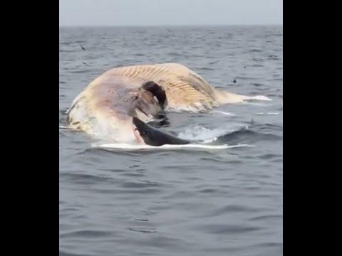 Haai eet dode walvis op