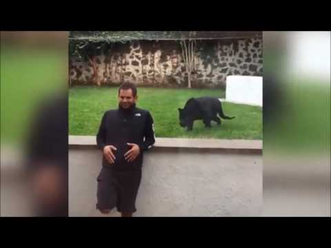 Video Panther Sneaks Up Behind Man With No Protecting Glass download in MP3, 3GP, MP4, WEBM, AVI, FLV January 2017