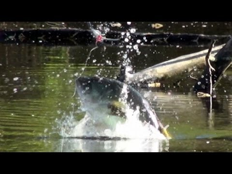 Giant Bass Goes Airborne Chasing a Frog! Topwater Bass Fishing with Frogs.