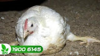 Chăn nuôi gà | Lý do cơ bản khiến bệnh viêm khớp gây nguy hiểm cho gà