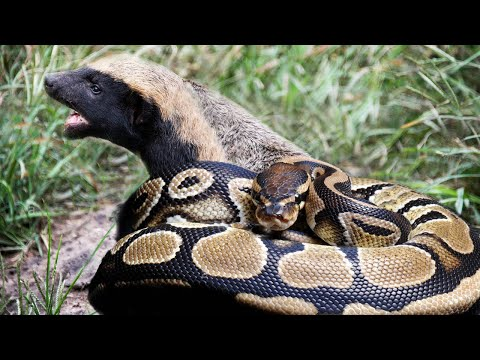 Honey Badger can eat a poisonous Snake?