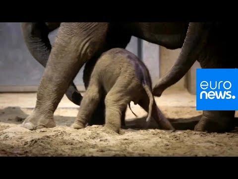 Brugelette/Belgien: Elefantengeburt im Pairi Daiza Pa ...