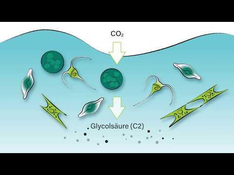 Phytoplankton: Der Abbau der Glycolsäure im Ozean