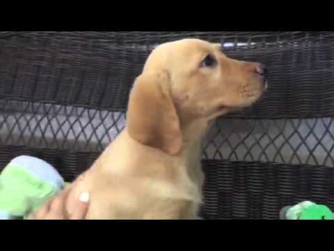 Stalky, Handsome yellow lab puppy