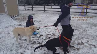Video FUNNIEST DOGS in SNOW COMPILATION - Haven't seen better yet! Enjoy watching and LAUGH with us! MP3, 3GP, MP4, WEBM, AVI, FLV Juni 2018