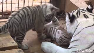 CUB CAM: Tiger mum takes care of her 2 cubs at Zoo
