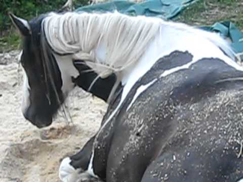 Video gypsy mare giving birth 2 download in MP3, 3GP, MP4, WEBM, AVI, FLV January 2017