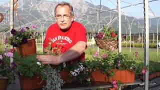 #394 Pflanzungen mit hängenden Geranien (Dichondra, Weihrauchkraut)
