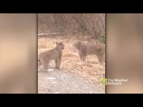 Two lynx screaming at each other on the road
