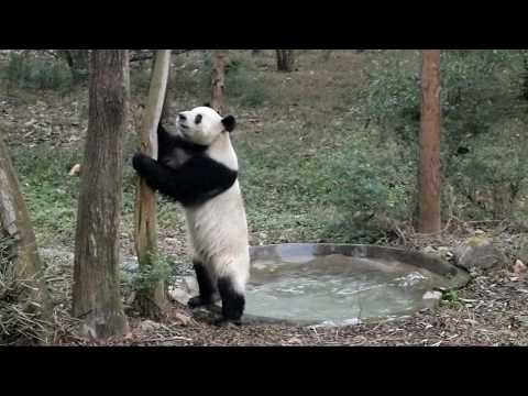 naughty-panda-in-chengdu