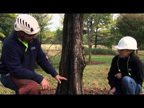 How to Safely Notch a Tree for Direct Felling