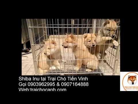 Shiba Inu at Tiến Vinh kennel