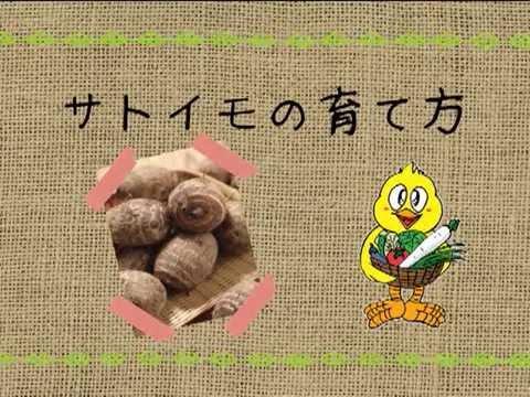 サトイモの育て方 農業屋