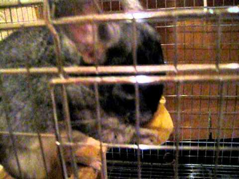 チンチラぬいぐるみと遊ぶ Chinchilla playing with a stuffed animal