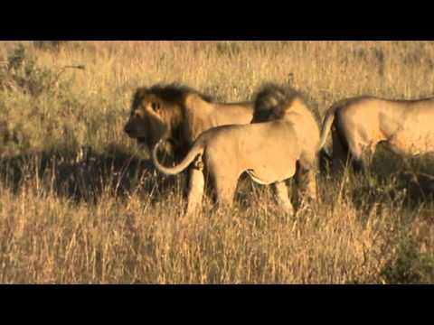 lions fighting to death