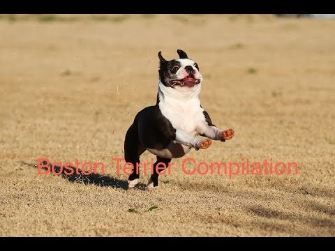 the ultimate funny boston terrier compilation!