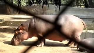Nonton Cute hippopotamus Video, baby hippopotamus Film Subtitle Indonesia Streaming Movie Download