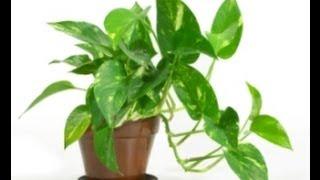 Clone/Propagate House Ivy, pothos plant ( Epipremnum aureum vine) (Golden Pothos or Devil's Ivy) cool links...