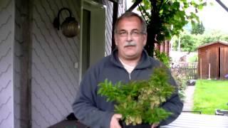 #366 Blautropf - die erste dauertragende Heidelbeere